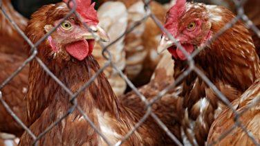 Tavuk Çiftliği Nasıl Kurulur?