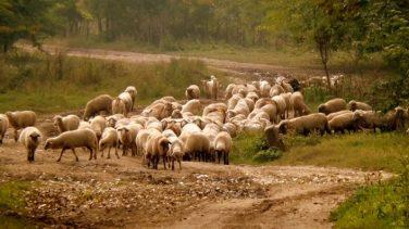Koyun ırklarımız nelerdir?