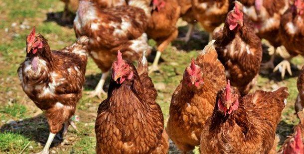 Serbest Dolaşan Tavuk Özellikleri, Fiyatları